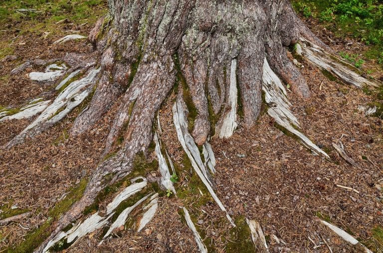 "The big and powerful roots of the big and majestic pine tree, ""Storfurua""."