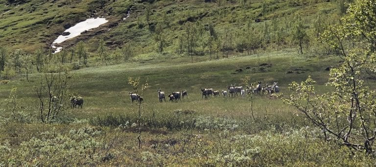 Reindeers seen from afar walking as a big group across a green bog, in the mountains during summer.