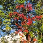 Green trees with leaves starting to turn into beautiful autumn-colors such as red and orange.
