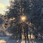 Big snow-covered trees in a winter landscape with the sun shining through its branches.