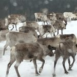 Lots of reindeers walking in a group on a snowy winter day.