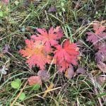 Red leaves sticking up amongst the green moss as the autumn is coming.