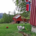 Goats on the lawn between the two red farm houses at Mastervika Farm, with the Norwegian flag hung up in the garden.