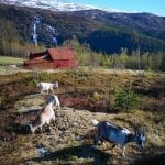Goats walking in the colorful autumn nature, with Mastevika Farm behind and waterfall in the background mountains.